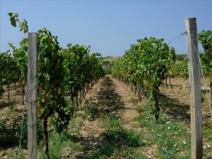 Vineyard similar to the one in the fable of the farmer and his sons