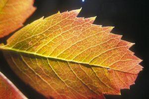 Leaf for nature craft
