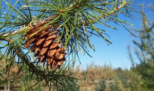 larch herbal supplement