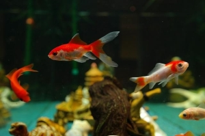 fish for pets